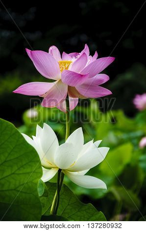 The blossoming lotus flower in summer season