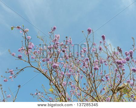 Jacaranda tree with bunches of purple flower on blue sky background