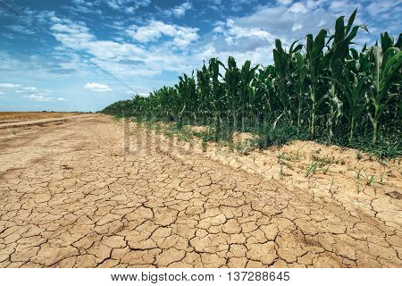 Corn crop growing in drought conditions green maize field on dry land with mud cracks