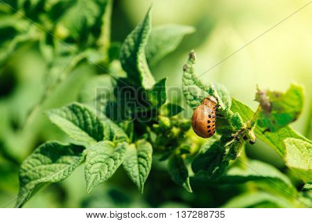 Potato bug larvae feeding on a plant leaf in vegetable garden selective focus