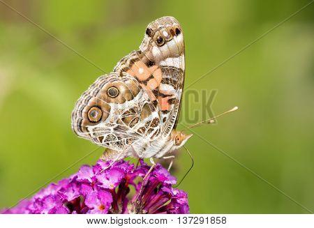 American Painted Lady butterfly feeding on a purple flowers of a Butterflybush