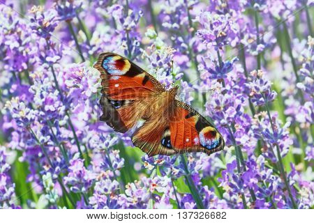 European Peacock Butterfly on the Lavender Flowers