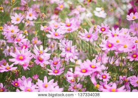 Cosmos flower field. Cosmos flower field. Cosmos flower field.