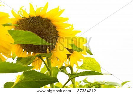 sunflower sunflower sunflower sunflower sunflower sunflower sunflower