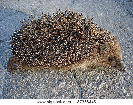 European hedgehog (urchin) on the pavement . poster