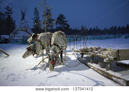 Sami reindeer team in the Sami tent polar night