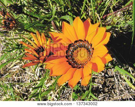 Orange Gazanias, Growing Wild, Cape Town South Africa001