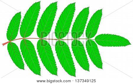 Rowan , vector , isolated Rowan leaf