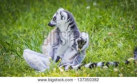 A small built lemur listen in the grass.