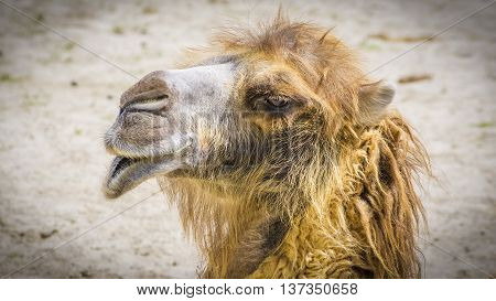 Funny faced camel in the sunshine in the either zoo.