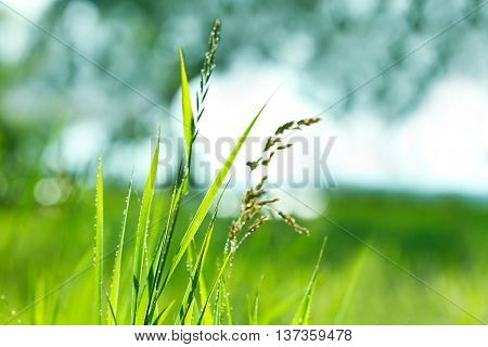 Beautiful wet grass on blurred nature background