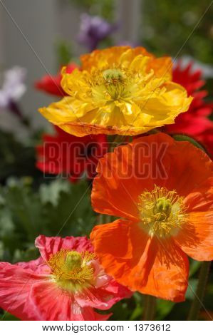 Variety Of Iceland Poppies