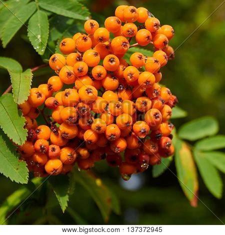Mountain ash tree with ripe berry (Sorbus aucuparia)