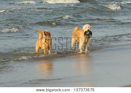These beach dogs were begging to play fetch on the beach at Hilton Head.