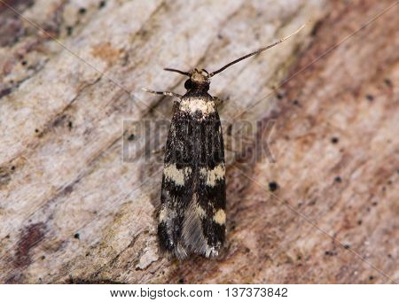 Oegoconia quadripuncta micro moth. Small insect in the family Autostichidae seen from above with long labial palps visible