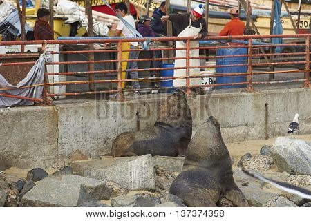 VALPARAISO, CHILE - JULY 5, 2016: Man signalling to two male South American Sea Lions (Otaria flavescens) to move, at the fish market in the UNESCO World Heritage port city of Valparaiso in Chile.
