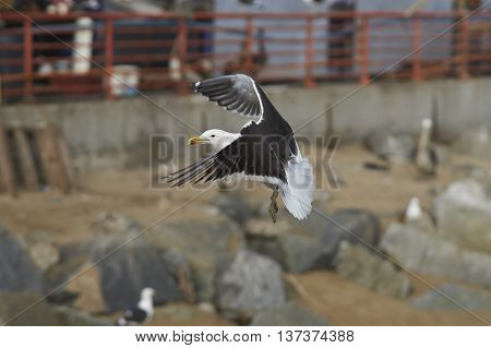 Kelp Gull (Larus dominicanus) flying next to the fish market in Valparaiso on the Pacific Coast of Chile.