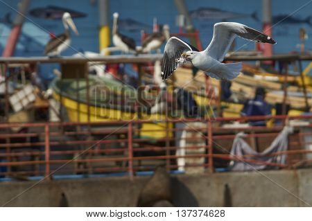 Kelp Gull (Larus dominicanus) with a fish head in its beak flying next to the fish market in Valparaiso on the Pacific Coast of Chile.