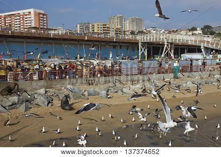 VALPARAISO, CHILE - JULY 5, 2016: American Sea Lions (Otaria flavescens), Kelp Gulls (Larus dominicanus) and Peruvian Pelicans crowd around the fish market in the port city of Valparaiso in Chile.