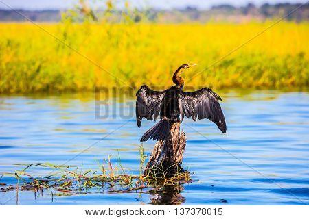 African cormorant dries its wings. Big Bird wings opened sitting on a tree among water. Botswana, Chobe National Park on the Zambezi River