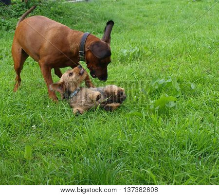 Hanoverian scent hound playing with wheaten dachshund puppy on lawn