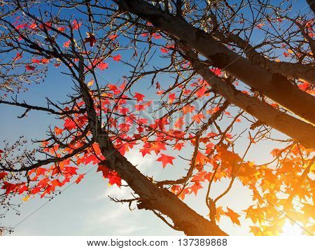 Red maple leaves on the tree against the sky and sunlight