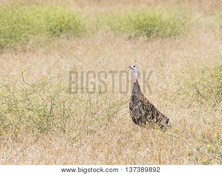 Wild Turkey female standing in the field with dry grass.