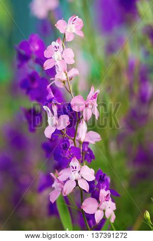 Pink and violet delphinium flowers in late May