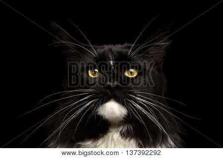 Closeup Portrait of Black Maine Coon Cat, Yellow eyes, Huge Whiskers, Looking in Camera, Isolated Black Background, Front view