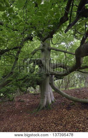 Old Beech Tree in woodland - Fagus sylvatica