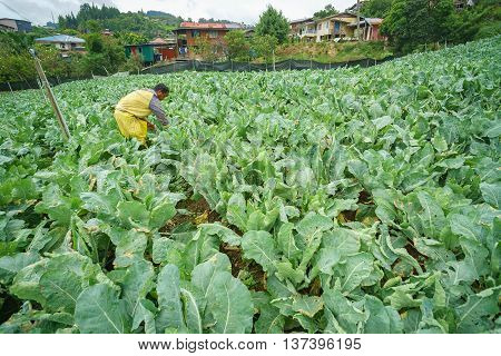 Kundasang Sabah Malaysia - May 26 2016 : Unidentified farmer working on his vegetable plot at Kundasang Sabah. Kundasang is a vegetable main producer in Sabah Malaysian Borneo.