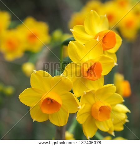 Bright yellow and orange Jonquil flowers in closeup.