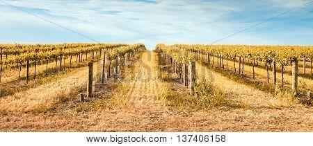yellow Vineyard in Barossa Valley. South Australia.