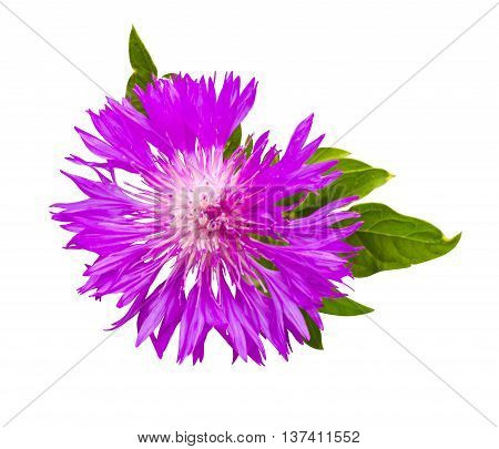 thistle. pink milk thistle flower in bloom in spring. Single Thistle Flower in Bloom in the field. Pink thistle flower Isolated on White Background