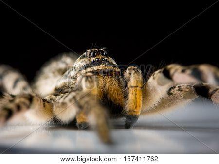 Extreme Macro Of Venomous Spider