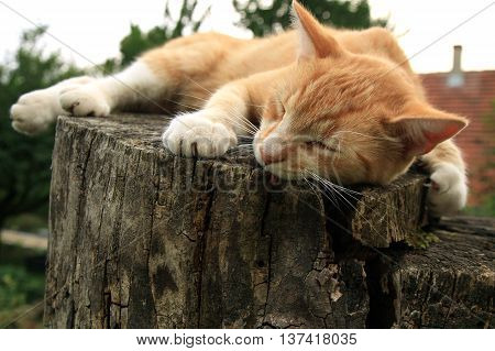 Ginger cat lying on the stump in the country home garden.
