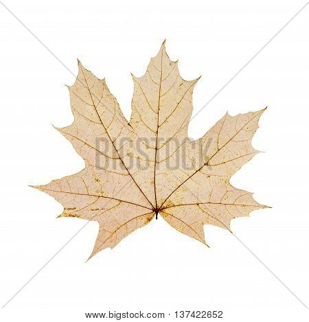 dry autum maple leaf isolated on white background