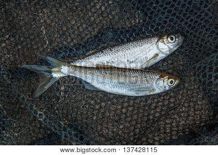 Several Ablet Or Bleak Fish On Black Fishing Net.