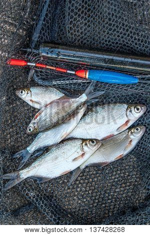 Several Roach And Bream Fish On Fishing Net. Fishing Rod With Float And Fishing Net As Background.