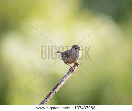 Wild wren set on metal post with green background (Troglodytes troglodytes)