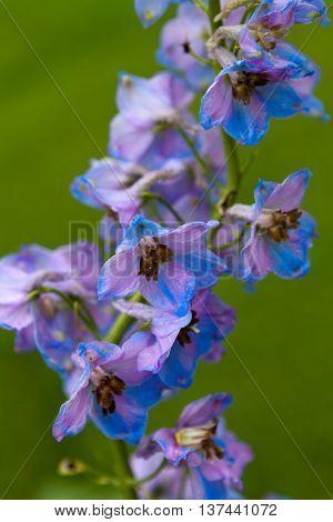 The Larkspur flower (Delphinium elatum hybrid)