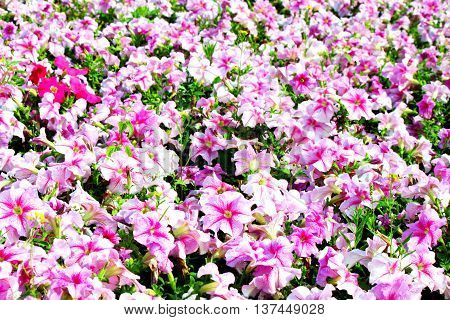 Beautiful colorful petunias on the flower field selective focus