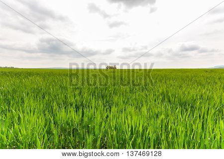 Wide green cornfield with cloudy skys in nature