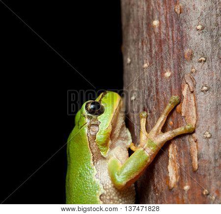 Macro Of Tree Frog