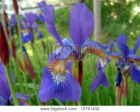 A Blue King Bearded Siberian Iris. A stunning specimen showing the side view in full bloom.
