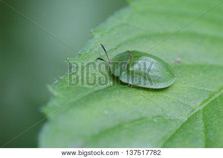 A green tortoise beetle (Cassida viridis) on a leaf.