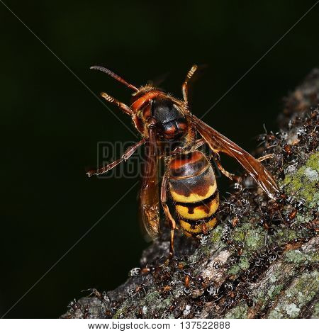 Close up view of an European Hornet (Vespa Crabro) attacked by group of ants
