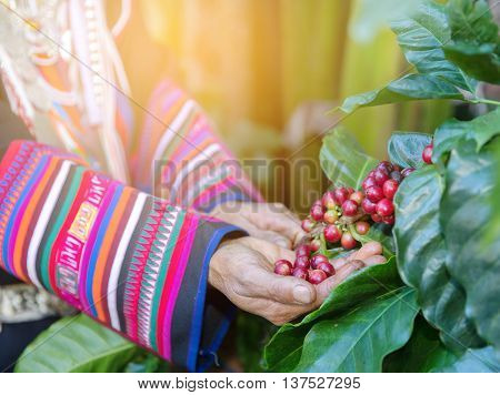 Hand of woman show coffee beans from branch of coffee plant select focus