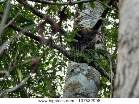 Bear Cuscus (ailurops Ursinus) In Tree
