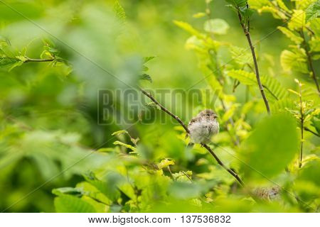 House Sparrow (Passer domesticus) on a branch against lush green leafy background (shallow DOF)
